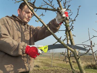 Robert Jeff Jones Nursery Gentleman Pruning Branch